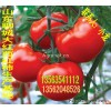 大量供应番茄