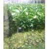 福建省平和管溪蜜柚苗,平和红肉蜜柚苗供应