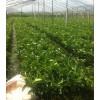 三红品种蜜柚苗,找平和兴红盛,黄金红皮蜜柚苗