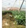 红肉三红蜜柚苗到哪批发,价格便宜品种比较有保障