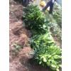 供应黄金三红蜜柚苗,用于种植的红皮红肉蜜柚苗