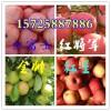 15554941222山东金帅红星苹果批发价格