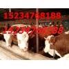 山西养殖专业合作社出售肉牛8