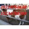合作社转型急售肉牛奶牛13