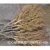 来自华东最大红心猕猴桃基地的优质红心猕猴桃苗