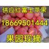 苹果价格 山东优质红富士跌价大量供应 保质保量