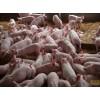 三元仔猪大量对外供应