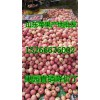 山东精品红富士苹果低价供应15266676002