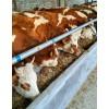 廊坊400斤小牛犊多少钱