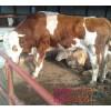 阿巴嘎旗肉牛价格表 西门达尔牛