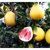 云南柚子苗嫁接,云南柚子苗价格,云南柚子苗种植技术