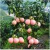 贵州柚子苗嫁接,贵州柚子苗价格,贵州柚子苗种植技术