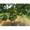 重庆柚子苗嫁接,重庆柚子苗价格,重庆柚子苗种植技术