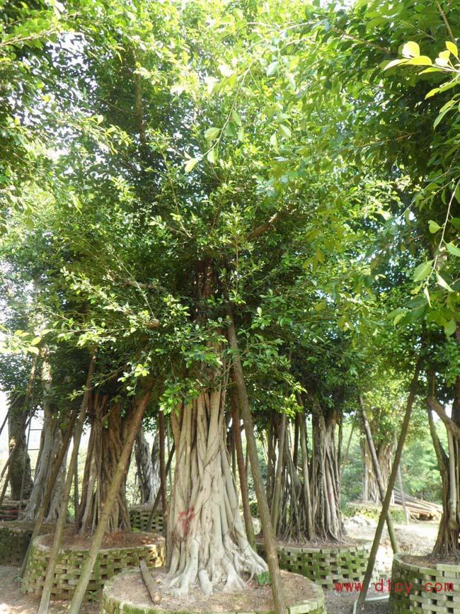 修剪:榕树的萌发力较强,修剪可常年进行,一般在春初疏剪,剪除不需要