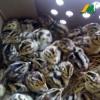 长期供应青铜火鸡苗