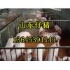 山东仔猪近日多少钱一斤