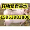 15953983808山东仔猪销售基地三元仔猪价格