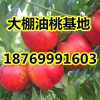供应山东优质大棚油桃18769991603