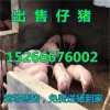 低价销售山东仔猪苗猪行情市场15266676002