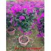 九重葛 三叶梅 美丽的藤本攀援花卉重瓣五彩三角梅