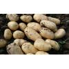 山东荷兰土豆价格