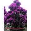 紫色花三角梅盆景 三角梅批发