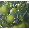 山东早熟苹果价格多钱辽伏苹果大量上市了
