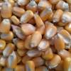 大量求购:玉米 菜饼 小麦次粉麸皮高粱等饲料原料