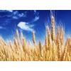 四川益乘丰达饲料厂采购雨后小麦 芽麦 玉米  小麦 高粱等