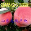 山东毛桃产地批发价格15554941222