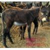 肉驴丶肉驴驹子多少钱