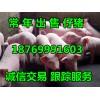 18769991603供应三元仔猪猪苗
