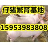 供应三元仔猪价格仔猪降价15953983808