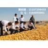 哪里大量收购玉米,常年收购玉米(在线咨询),山东收购玉米