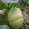 绿巨人大南瓜种子 ,巨型大南瓜种子