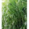 一年生牧草种子 高丹草种子