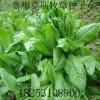 供应高产抗病优质牧草饲料种子高杆菠菜 鲁梅克斯种子