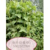 山东济南福田大量供应优质多年生串叶松香草种子