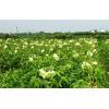 观赏蔬菜种子 观赏保健蔬菜种子 优质菜芙蓉种苗