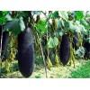 优质杂交大冬瓜种子 黑皮大冬瓜种苗