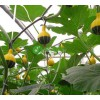 观赏小淘气南瓜种子 观赏优质套餐鸳鸯梨南瓜种苗