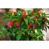 观赏七彩色辣椒有几个品种呢
