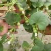 小亚葫芦 观赏葫芦种子/好种/阳台 盆栽观赏类挺好