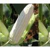 山东白糯玉米种子图片 进口白糯玉米种子批发