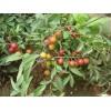 山东钙果种苗种植 中华钙果种植批发 水果种苗技术