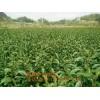 .河北蜂糖李子苗好种植吗,河北适应种植蜂糖李子苗吗
