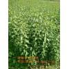 河北嫁接蜂糖李河北蜂糖李子苗的种植技术