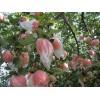 脆甜红富士苹果基地实惠价格出售