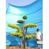 造型树苗木/景观树/大型风景树/别墅景观树