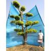 造型金叶榆/景观树/大景观树/园林绿化树木/造型景观树